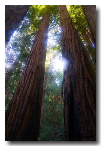 Cathedral Grove, Muir Woods, California
