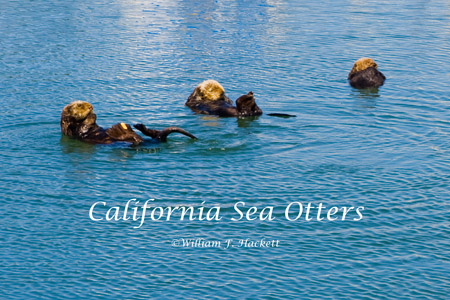 California sea otters, Moss Landing, CA