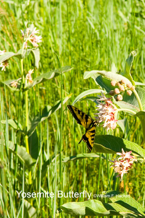 Tiger Swallowtail Butterfly on milkweed, Yosemite National Park