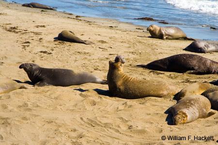 Northern Elephant Seal, Piedras Blancas Rookery, San Simeon