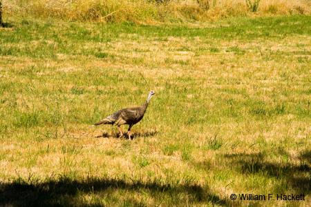 Wild Turkey, Redwood Regional Park