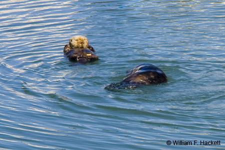 Sea Otters, Moss Landing, CA