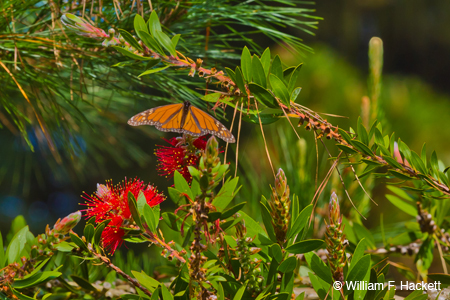 Monarch butterfly, Pacific Grove, CA
