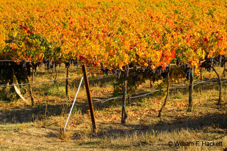 Livermore Vines, October